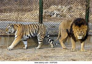 Barbary Lion vs Siberian Tiger | Page 11 | Sports, Hip Hop ...