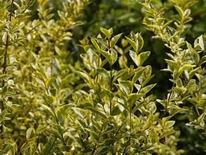 Arbuste À Feuillage Persistant : arbustes de haies feuillage persistant la haie mur vgtal ~ Melissatoandfro.com Idées de Décoration