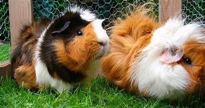 Guinea Pig Pigs Pets Should
