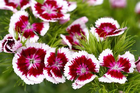 Lange Blühende Blumen by Die Bl 252 Tezeit Der Nelken 187 Wann Bl 252 Ht Welche Sorte
