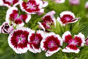 Blumen Lange Blütezeit : die bl tezeit der nelken wann bl ht welche sorte ~ Michelbontemps.com Haus und Dekorationen