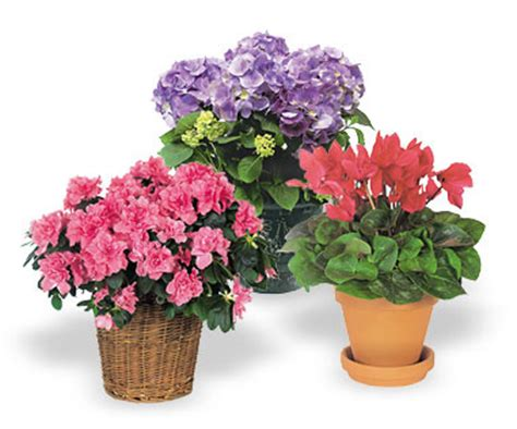 indoor flower plants flowers and plants deluxe indoor flowering plant gift