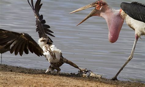 stork   eagle fight   fish  pictures