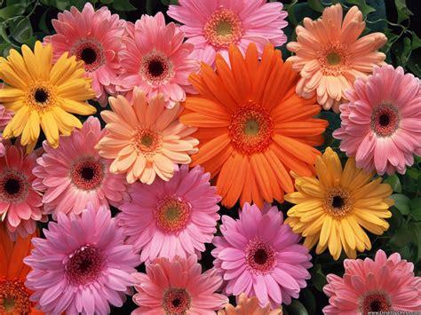 gerbera daisies wallpaper 1600x1200 42476