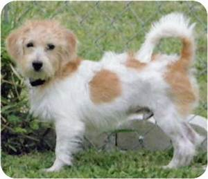 TJ | Adopted Puppy | Terra Ceia, FL | Jack Russell Terrier ...