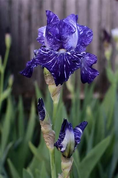 Iris Flower Purple Pridemore Wayne