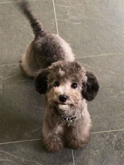 rocky silver toy poodle asian fusion cut  months