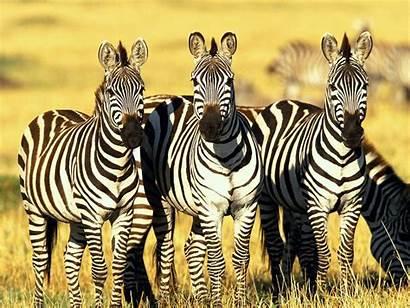 Wild African Adventures Wildlife Zebra