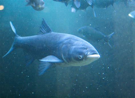 asian fish ssfp asian carp annie shao