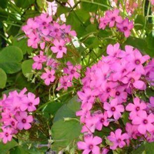 fiori di trifoglio riso e orzo con fiori di trifoglio