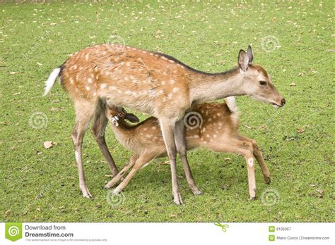 Breast Feeding Deer Stock Image Image Of Eats Grass