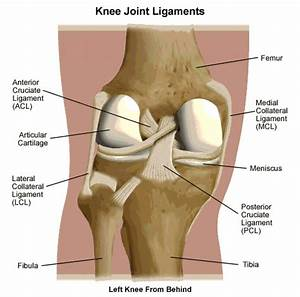 Knee Tendon And Ligament Anatomy - Human Anatomy Diagram
