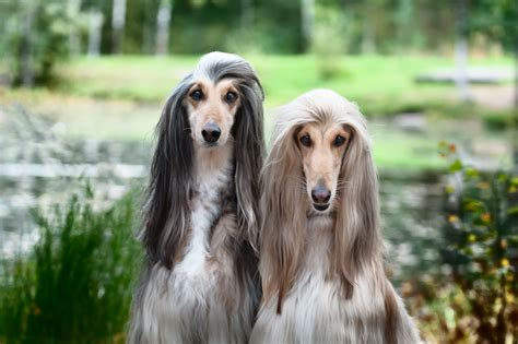 8 สายพันธุ์สุนัขขนยาวที่คุณต้องมีเวลามานั่งแปรงขนให้เป็น ...