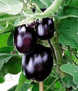 Paprika Pflanzen Abstand : aubergine 39 jackpot 39 aubergine bei baldur garten ~ Whattoseeinmadrid.com Haus und Dekorationen