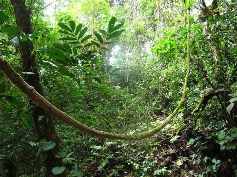 Rain Forest With Lianas (woody Vines), Costa Rica, By