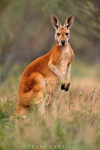 25+ Best Ideas about Red Kangaroo on Pinterest ...