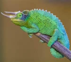 Jackson Chameleon Scaley/slimy creatures Pinterest