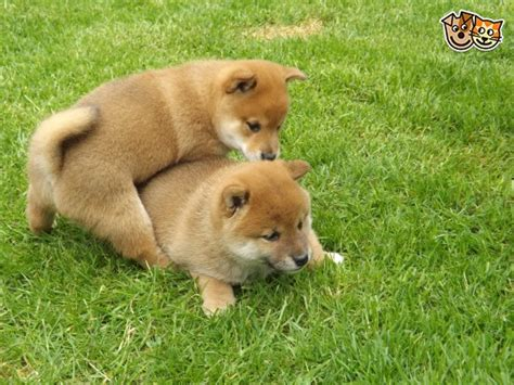 Subreddit for anything related to shiba inus. RED FEMALE SHIBA INU AVAILABLE TO BEST HOME   Horsham ...