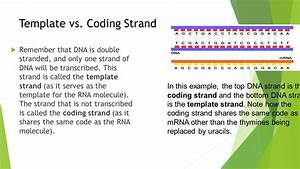 lesson 3 gene expression ppt video online download With what is the template strand