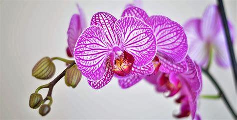 immagini fiori orchidee tipi di orchidee con foto beautiful immagini di fiori