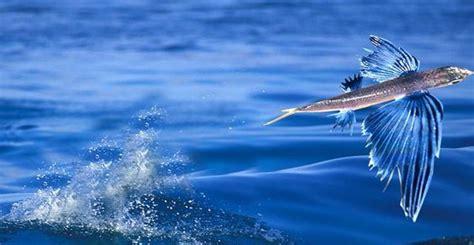 Pesci Volanti Mediterraneo Forestali News Exocoetidae Il Pesce Volante Forestali News