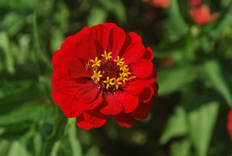pics of zinnias zinnia free stock photo public domain pictures