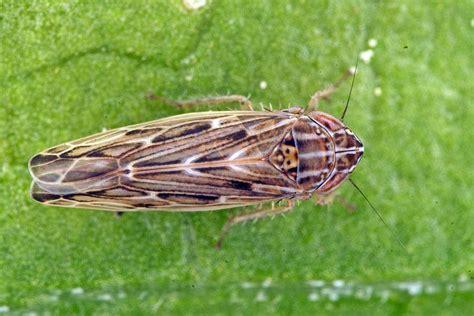 http://www.naturspaziergang.de/Zikaden/Psammotettix_alienus.htm