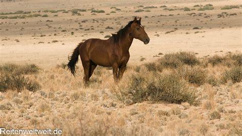 horses desert wild namib namibia south african mustangs