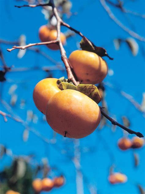 plant  grow persimmons hgtv