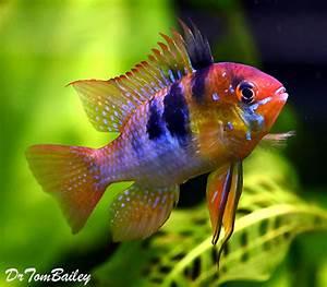 Ram Fish for Sale AquariumFish