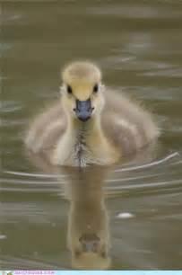 Cute Fluffy Baby Ducks