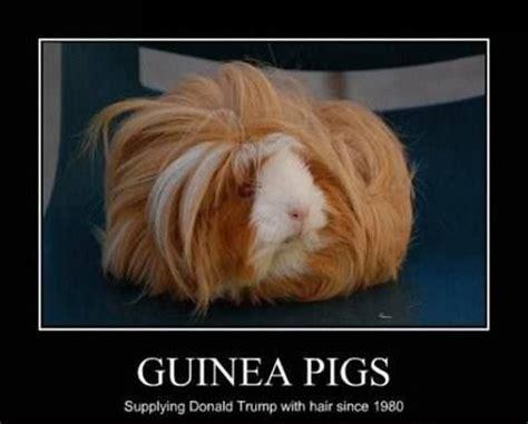 Shaved Guinea Pig Meme - guinea pigs meme slapcaption com the best of slapcaption com pinterest