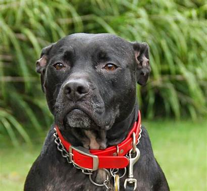 Pitbull Dog Wallpapers Pit Bull Bully American
