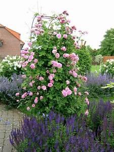 Rose Mein Schöner Garten : louise odier roses pinterest ~ Lizthompson.info Haus und Dekorationen
