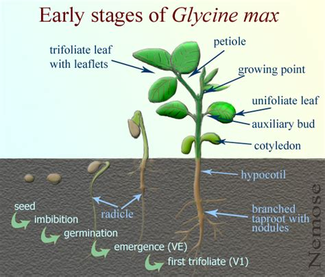 Glycine Max, Soybean Plant At Geochembio Taxonomy, Brief Facts, Developmental Stages