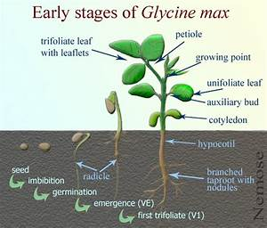 Glycine Max  Soybean Plant At Geochembio  Taxonomy  Brief