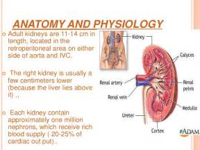 Kidney Anatomy and Function
