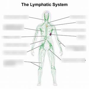 Diagram Lymphatic System