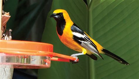 what do baltimore orioles eat top 28 what do baltimore orioles eat baltimore oriole bird nut blog baltimore oriole
