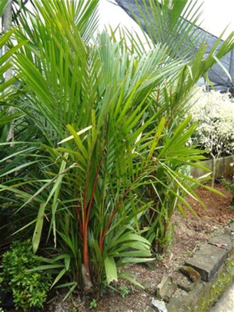 palm merah jual tanaman hias jual desain landscape