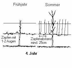 Weinreben Schneiden 1 Jahr : pflanzenkunde ~ Lizthompson.info Haus und Dekorationen