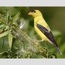 List Of Birds Of New Jersey Wikipedia