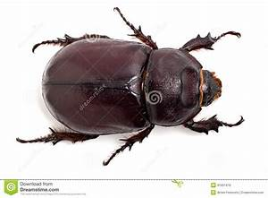 Großer Schwarzer Käfer Bilder : gro er k fer stockfoto bild von wirbellos rhinoceros 41051418 ~ Frokenaadalensverden.com Haus und Dekorationen