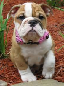 English Bulldog Puppies Love