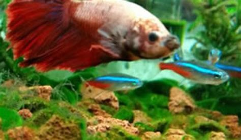 fish    bettas  betta fish guides