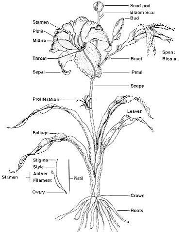 Diagram Of Water Flower by Belles Biology Diagram Of A