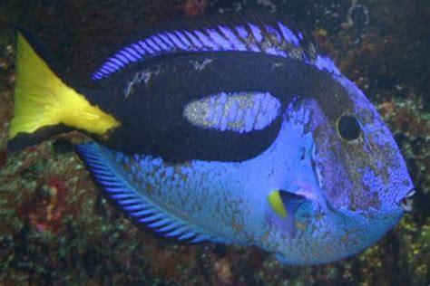 hlle head lateral  erosion marine fish diseases