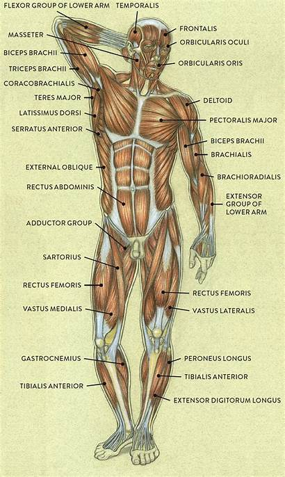 Anatomy Human Drawings Muscles Drawing Figure Classic