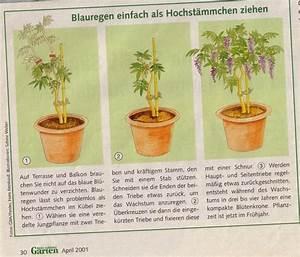 Blauregen Im Kübel : rosen und katzen forum kletterpflanzen glyzinie wisteria seite 2 garten blauregen ~ Frokenaadalensverden.com Haus und Dekorationen