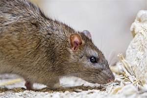 Comment Tuer Un Rat : comment attraper un mulot dans une maison id es ~ Melissatoandfro.com Idées de Décoration